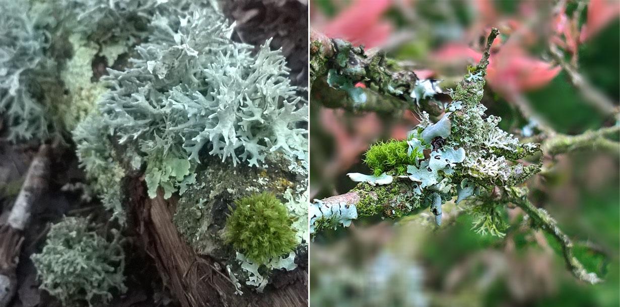 Foliose-Crustose-lichen-tree-fallen-branch-The-Last-Krystallos