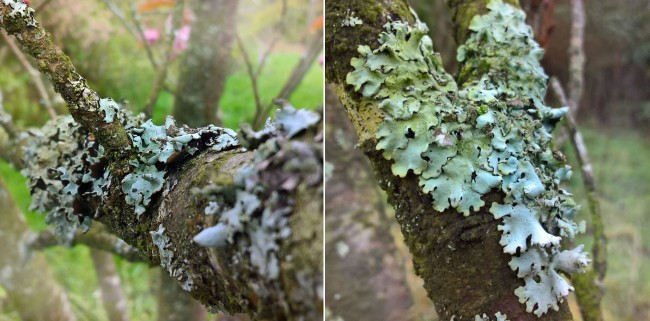 Foliose-lichen-heart-cherry-tree-The-Last-Krystallos