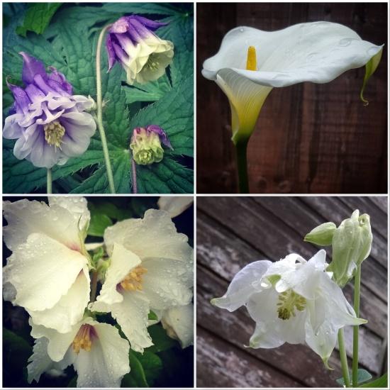 aquilegia-arum-lily-philadelphus-belle-etoile-aquliegia-the-last-krystallos