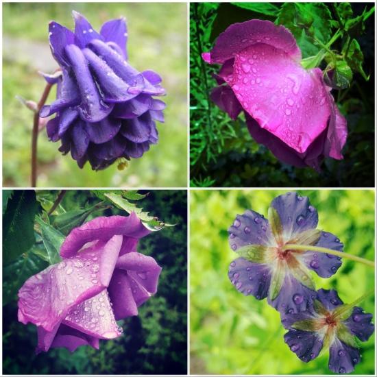 aquilegia-rhapsody-in-blue-rose-geranium-the-last-krystallos