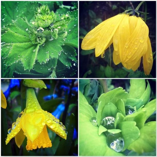 Ladies-mantle-rudbekia-daffodil-aquilegia-the-last-krystallos