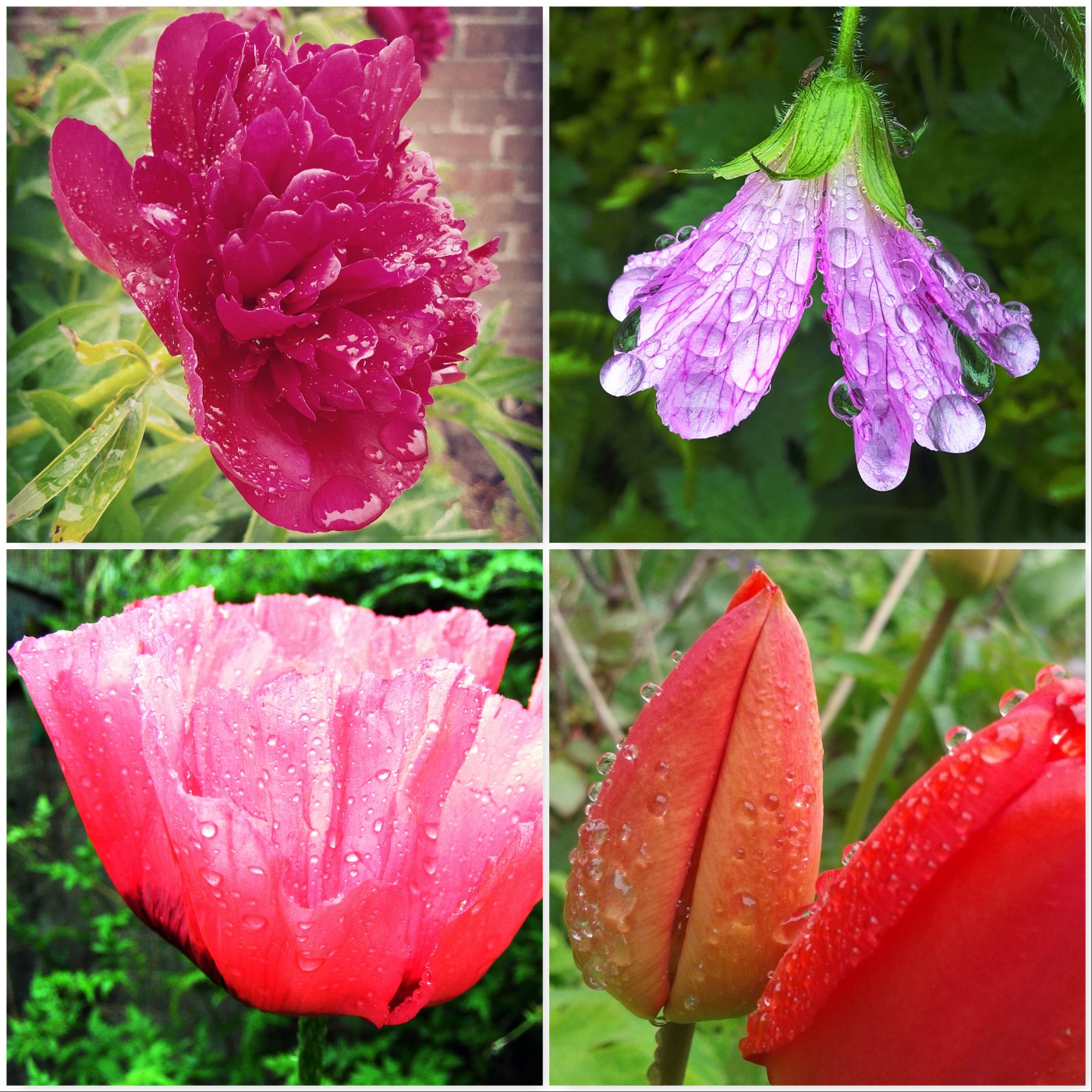 paeony-geranium-poppy-tulip-the-last-krystallos