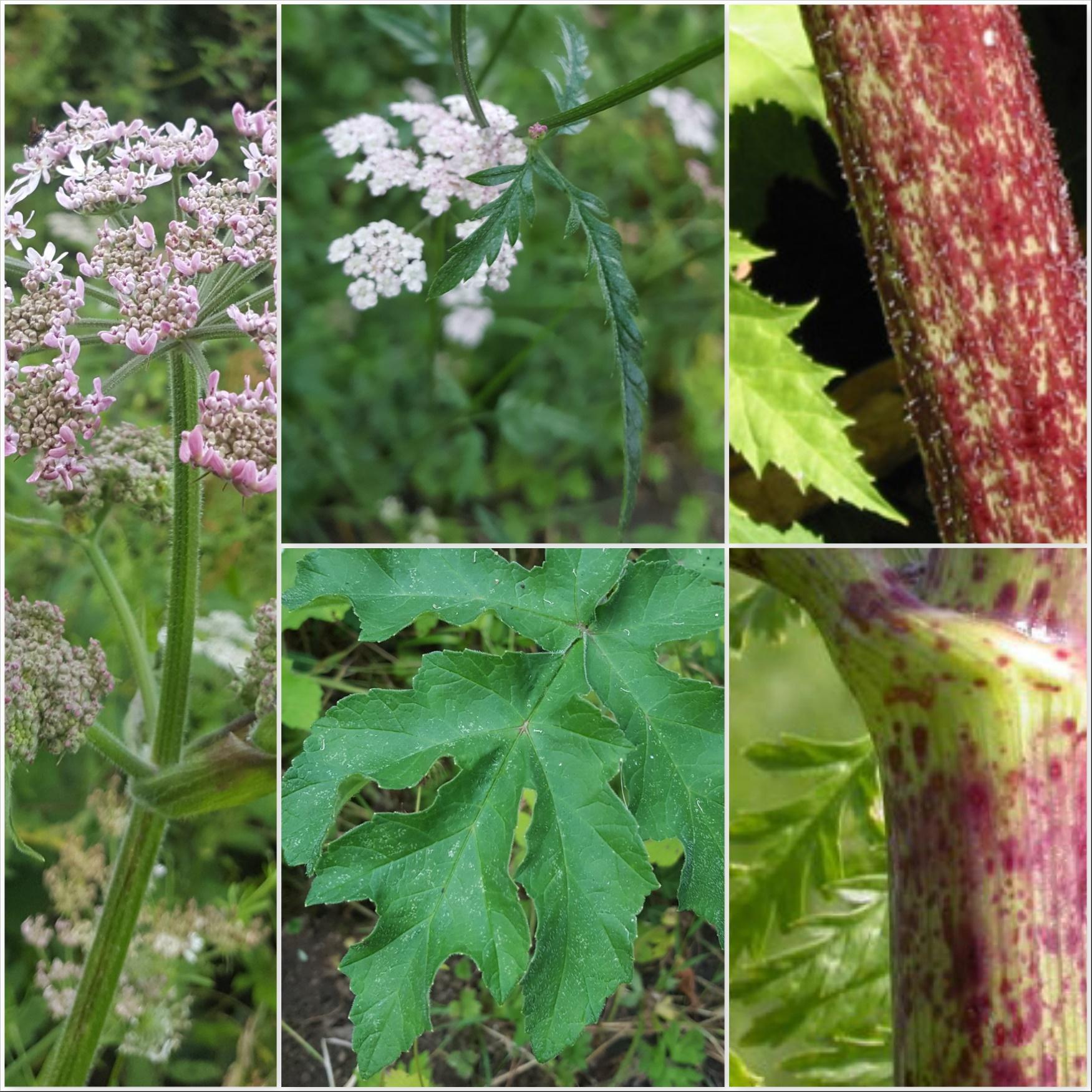 Common Hogweed, Cow Parsley, Giant Hogweed and Hemlock Leaves Stems - The Last Krystallos