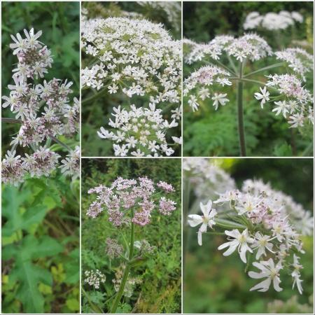 Common Hogweed Leaves Stem - The Last Krystallos