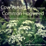 Cow Parsley and its cousin Common Hogweed - The Delicate Beauties of the Hedgerow - The Last Krystallos