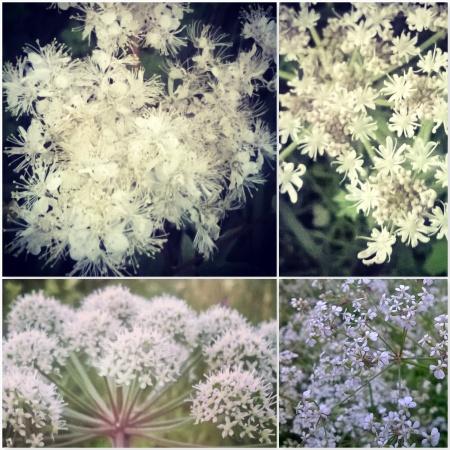 Cow Parsley Hogweed Flowers - The Last Krystallos