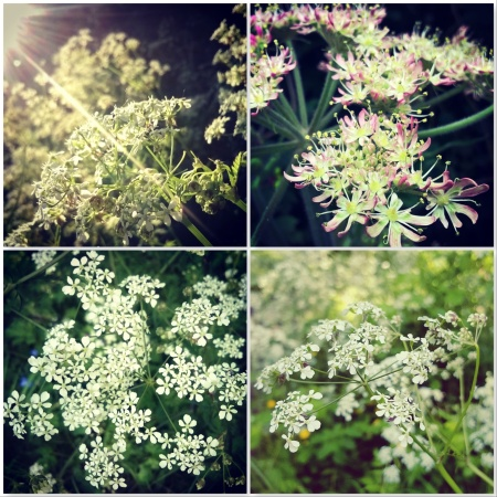 Cow Parsley - The Last Krystallos