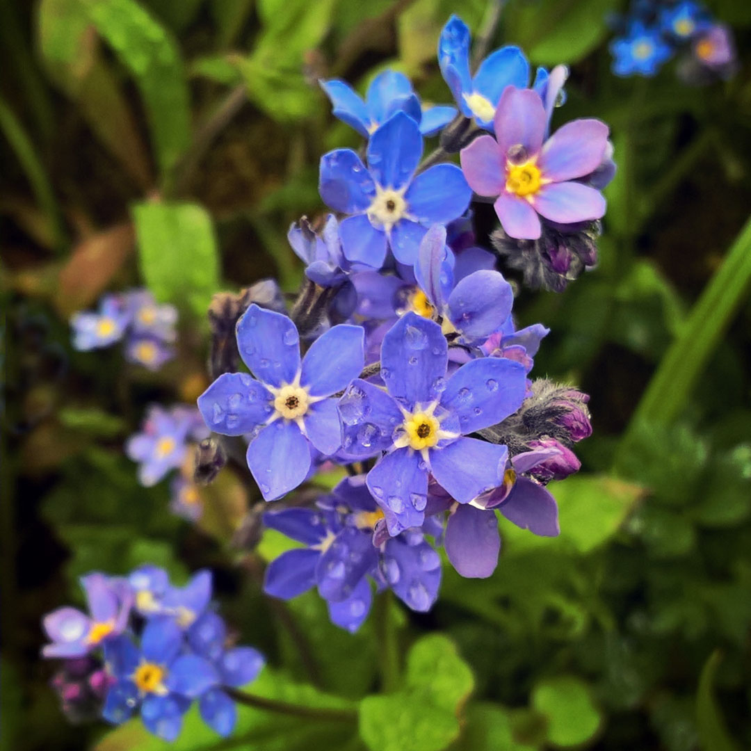 Coping-with-Alzheimer's-Forget-me-not- The-Last-Krystallos