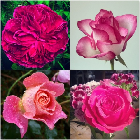 Deep-Pink-Roses-The-Last-Krystallos