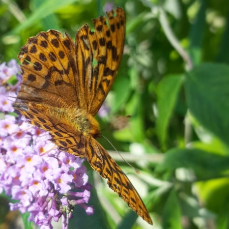 High-Brown-Fritillary-Butterfly-The-Last-Krystallos