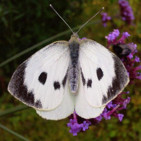 Large-White-Butterfly-The-Last-Krystallos
