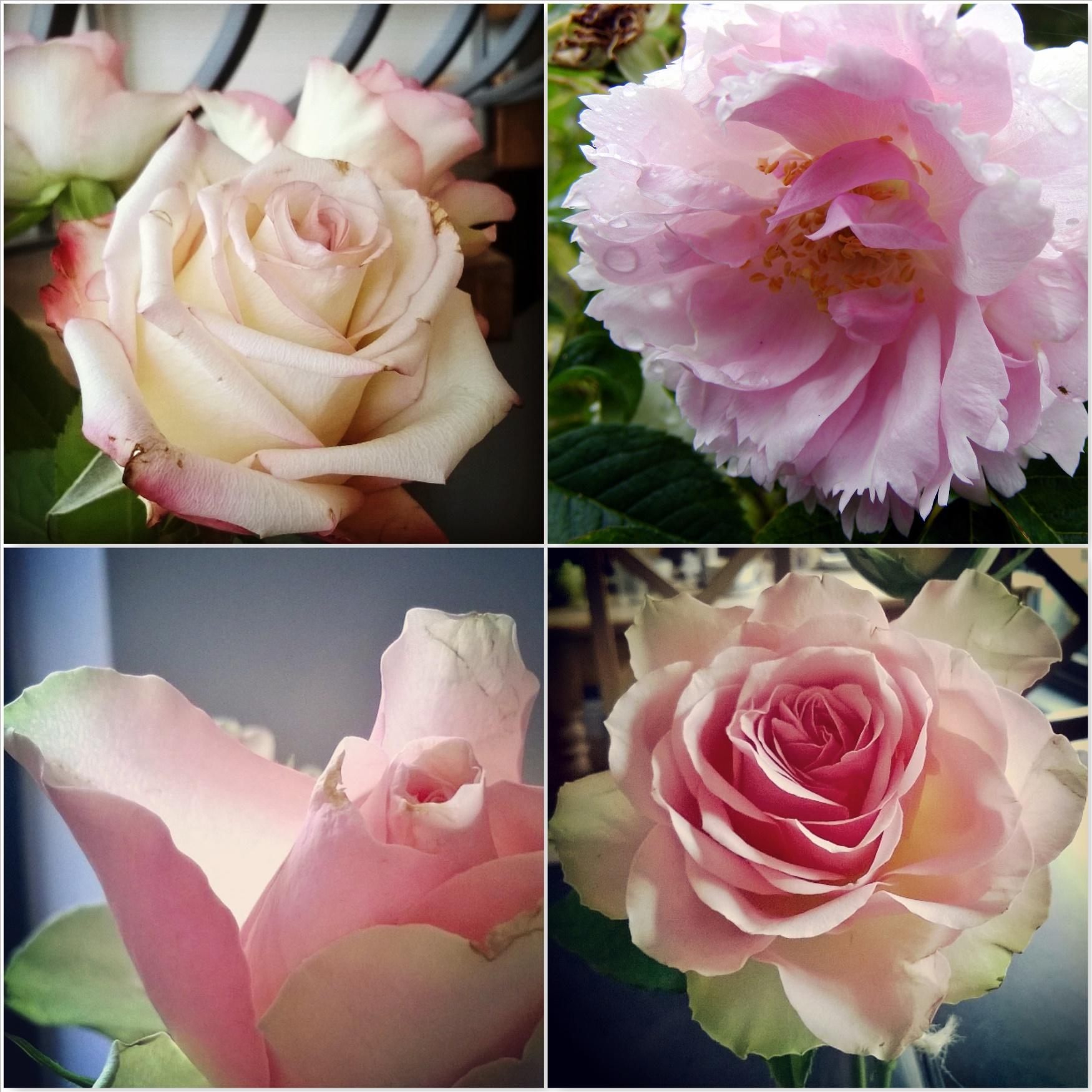 Pale-Pink-Roses-The-Last-Krystallos