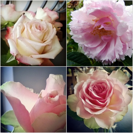 Pale-Pink-Roses-The-Last-Krystallos