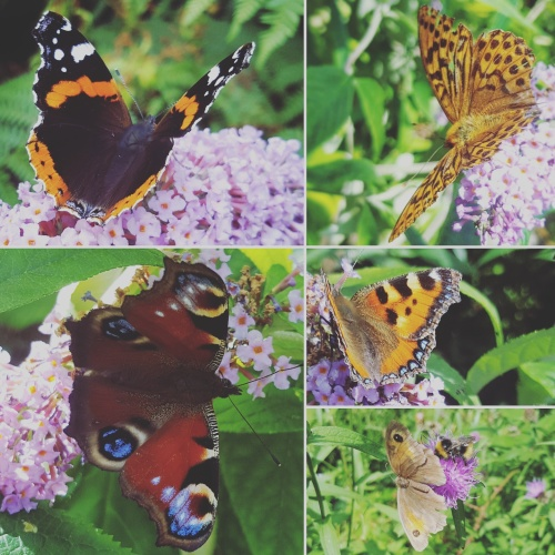 Red-Admiral-High-Brown-Fritillary-Small-Tortoiseshell-Gatekeeper-Peacock-Butterflies-Lisa-Shambrook