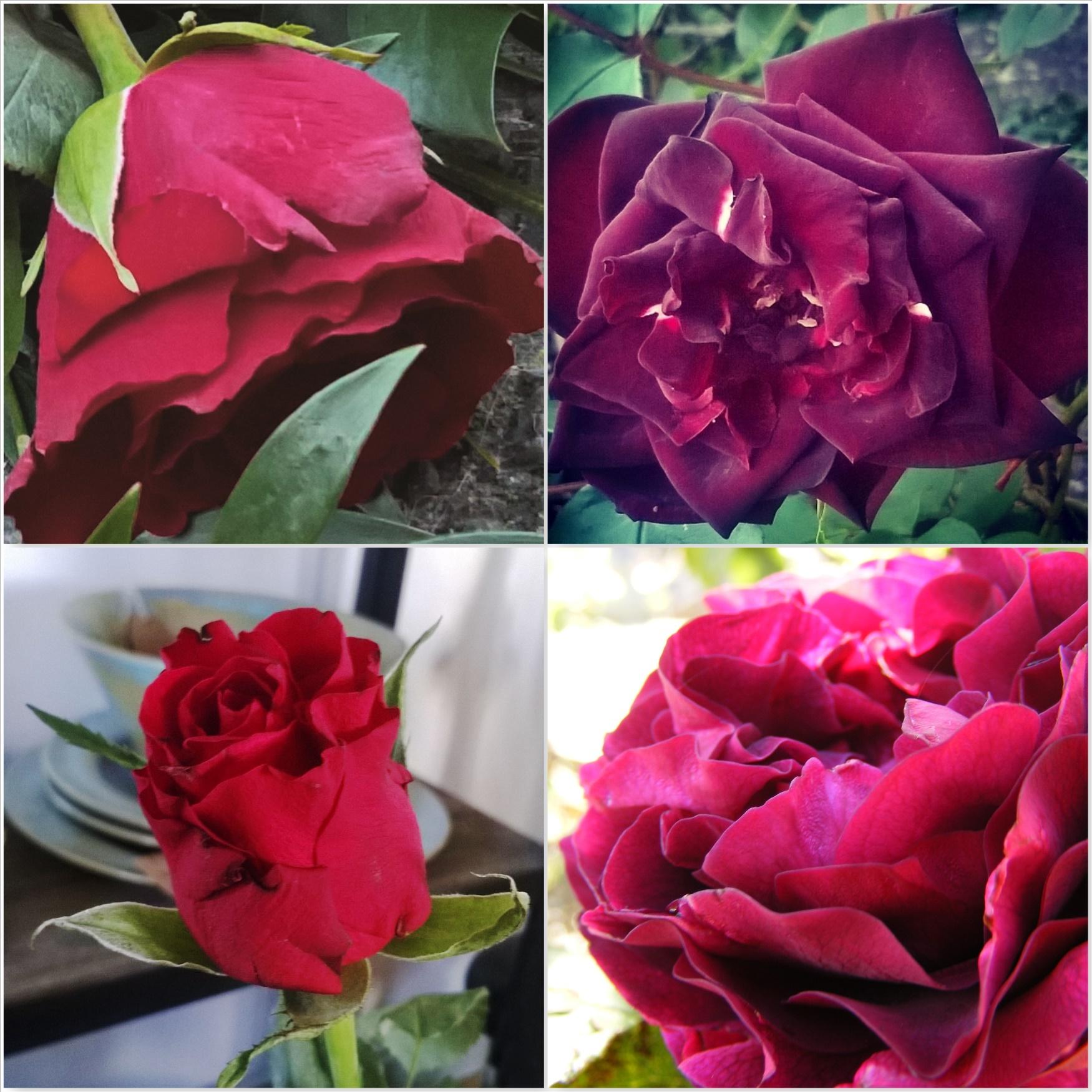Red-Roses-The-Last-Krystallos