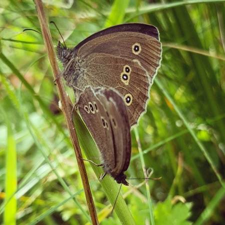 Ringlet-Butterfly-The-Last-Krystallos