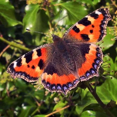 Small-Tortoiseshell-Butterfly-The-Last-Krystallos