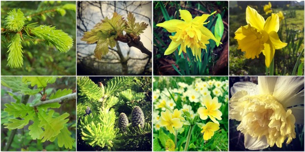 Christmas Tree - Oak - Daffodils - Primroses - Cowslip - Abies Koreana new growth