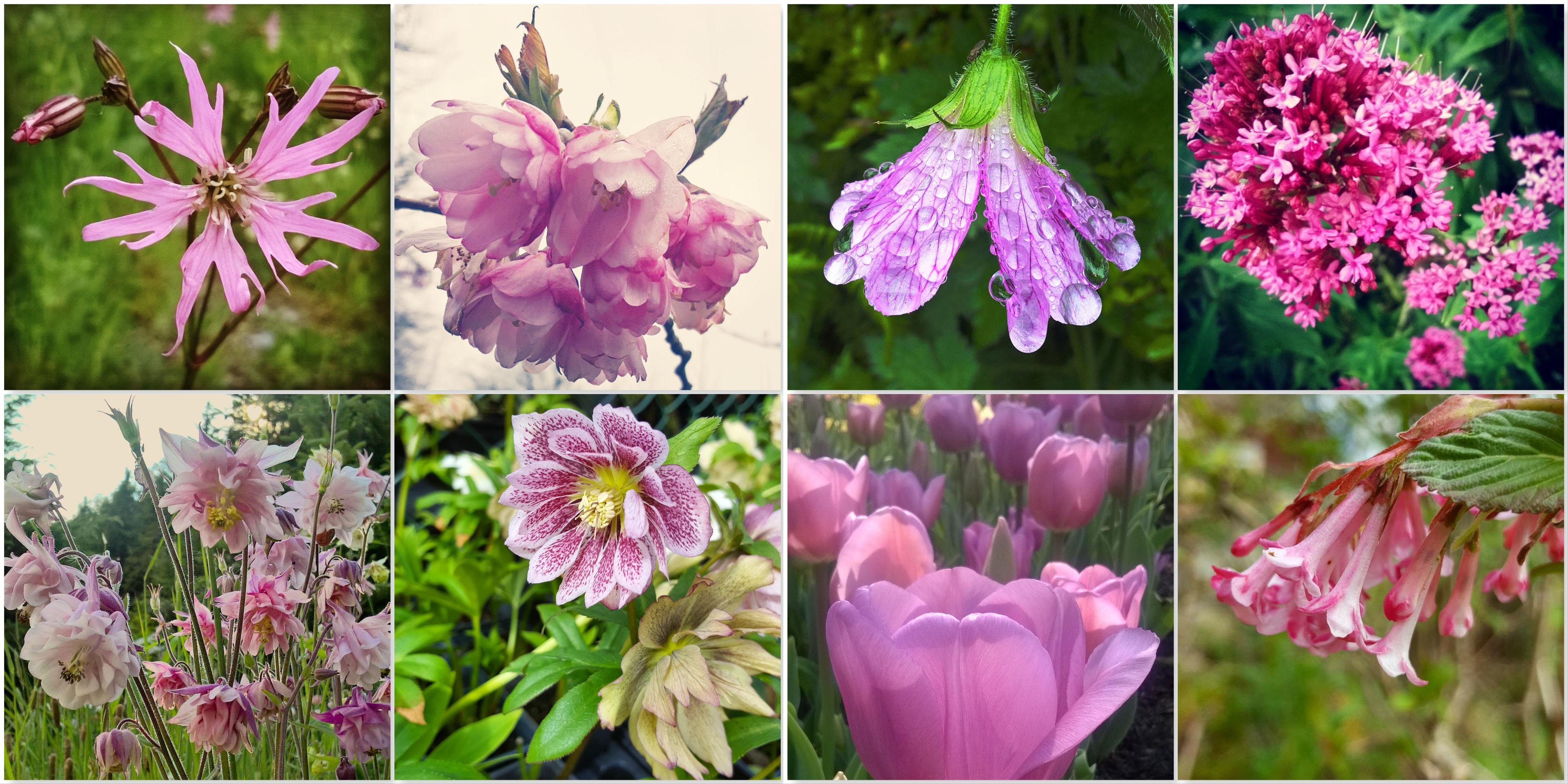 Ragged Robin - Blossom - Mallow - Valerian - Aquilegia - Hellebore - Tulip - Virbunum Bodnantense Dawn