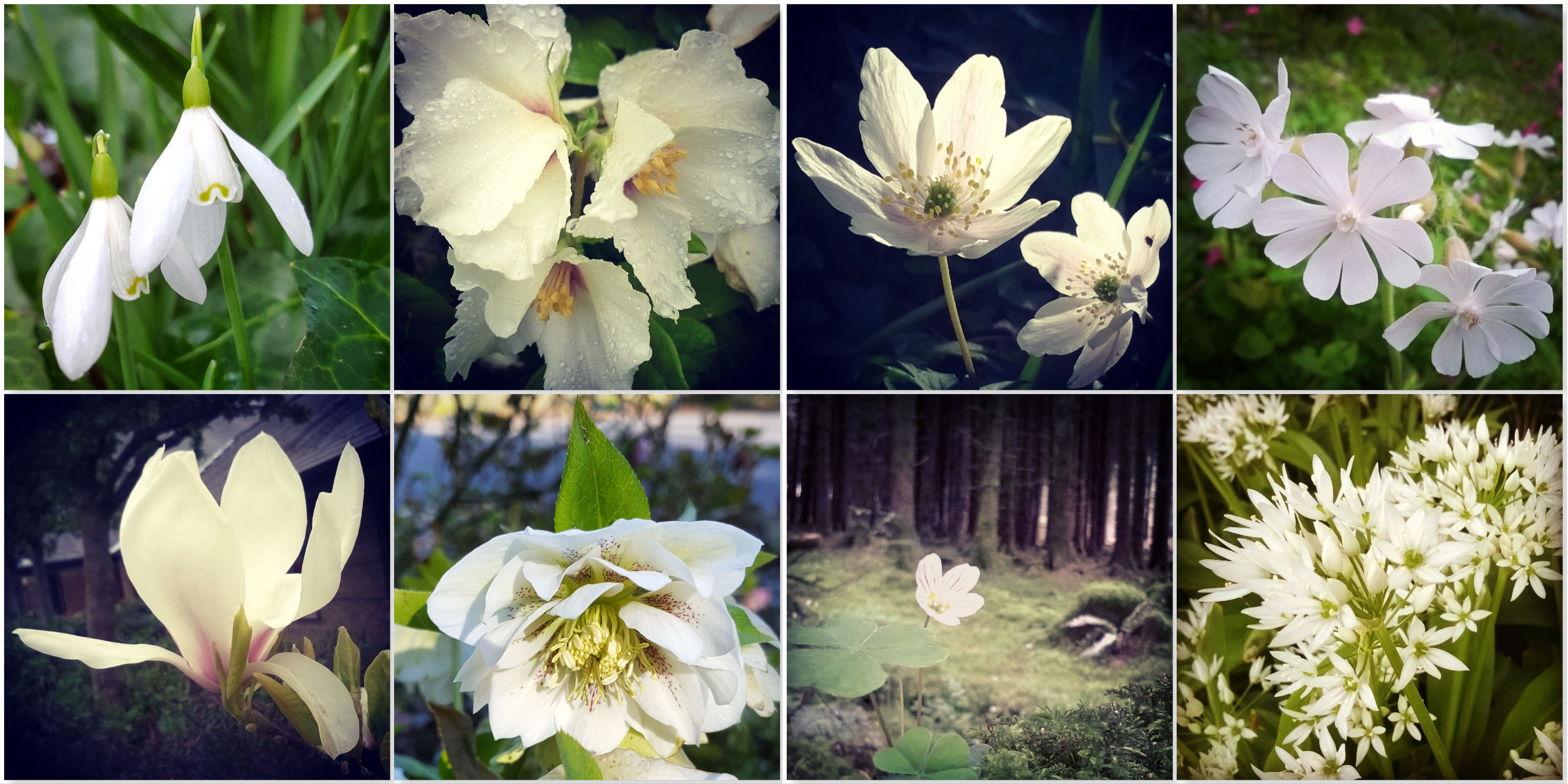 Snowdrops - Belle Etoile - Wild Anemone - White Campion - Magnolia - Hellebore - Oxalis - Wild Garlic