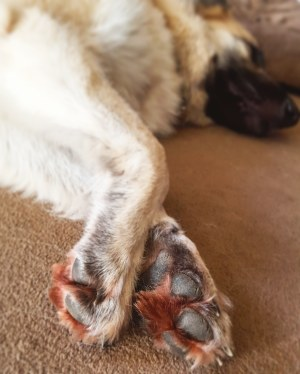 GSD red brown fur paws allergies or prophyrin - the last krystallos