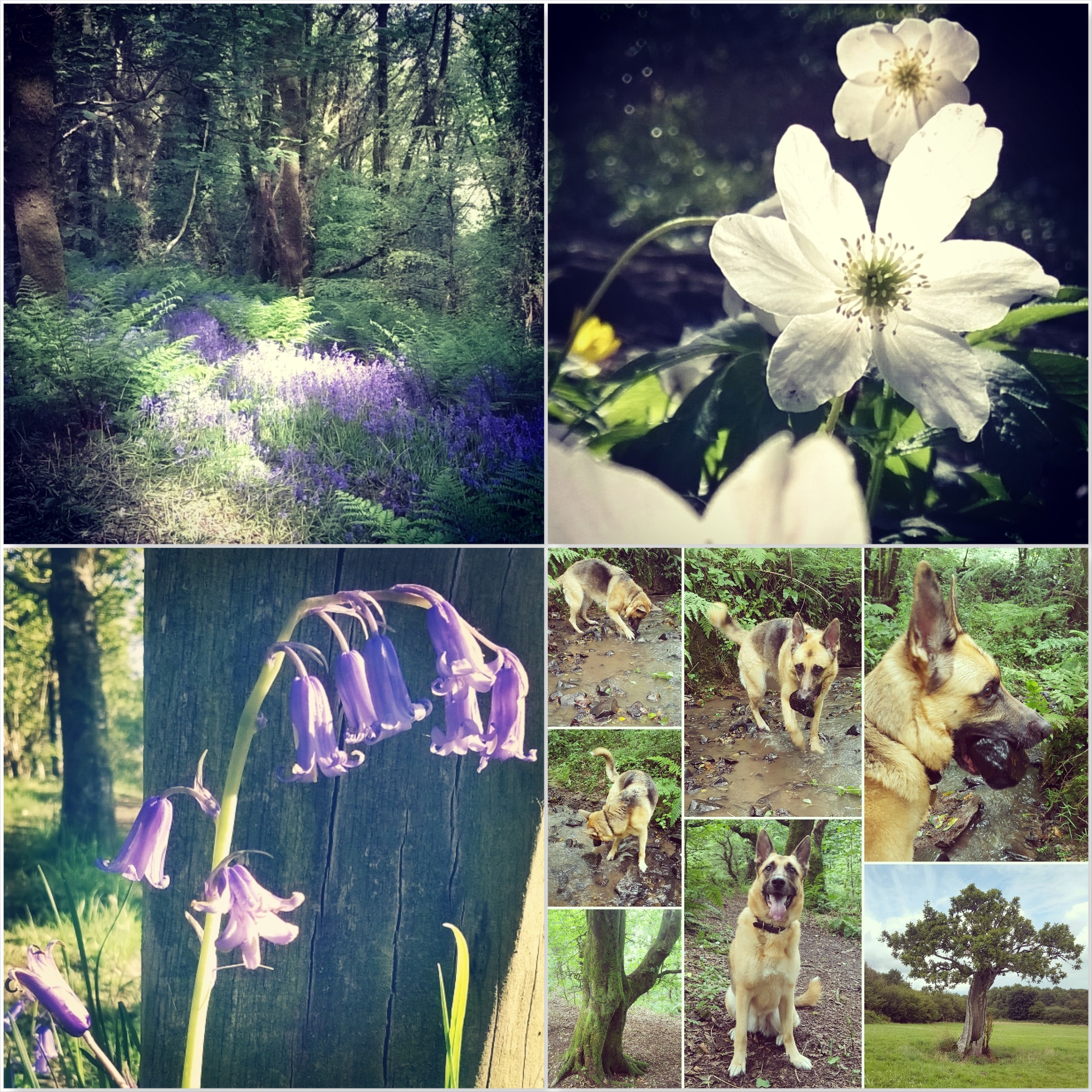Bluebells - anemone - Roxy - Green Castle Woods - The Last Krystallos