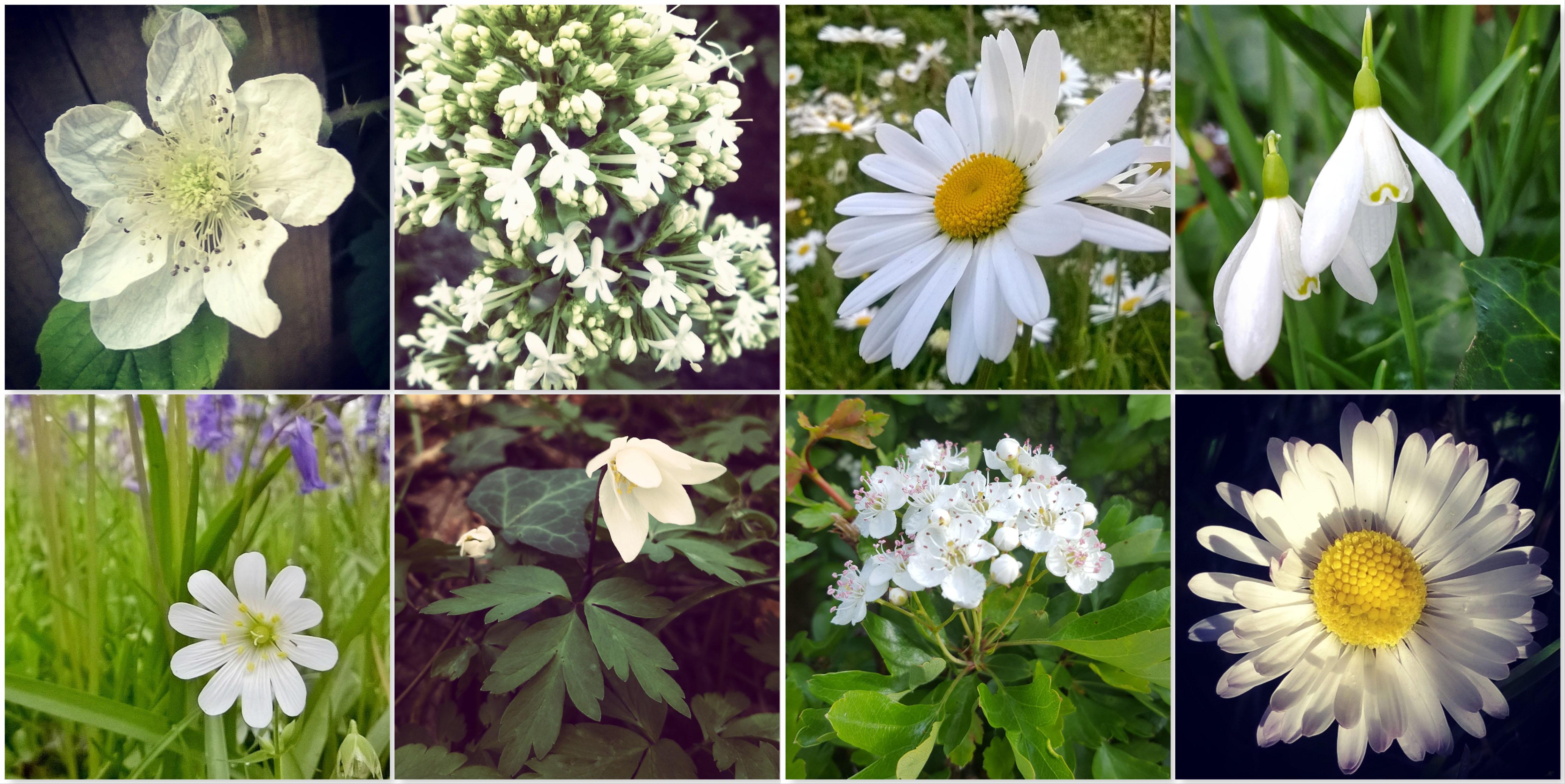 Blackberry - Valerian - Ox-eye Daisy - Snowdrop - Stitchwort - Wood Anemone - May Blossom - Daisy