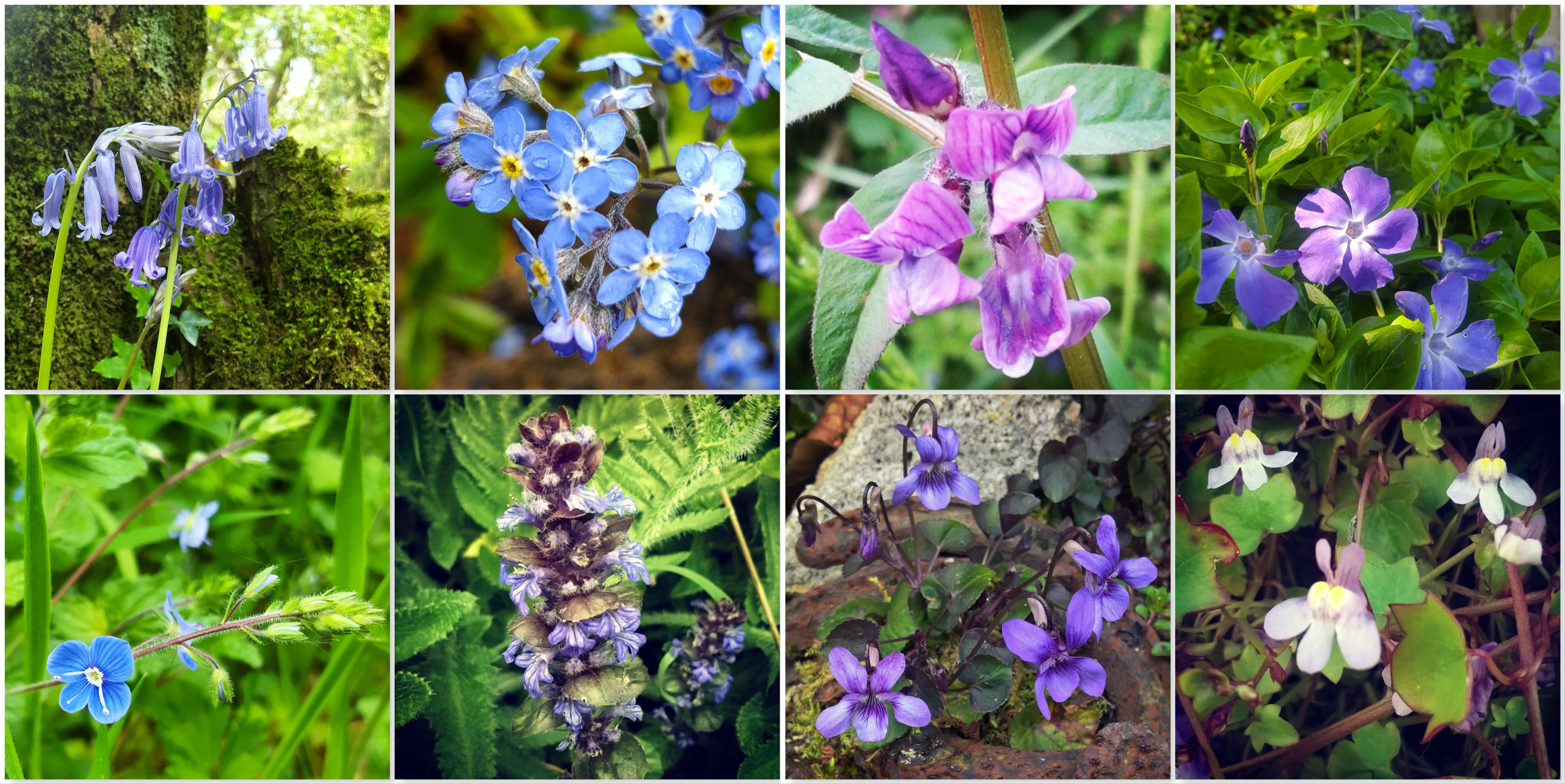 Bluebells - Forget-me-not - Purple Vetch - Vinca - Speedwell - Bugle - Wild Violet - Ivy Leaved Toadflax
