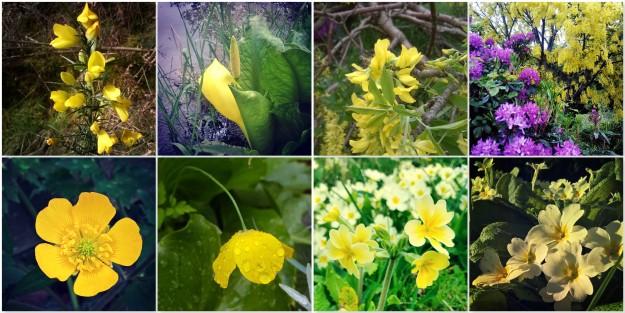 Gorse - Bog Arum Lily - Laburnum - Buttercup - Welsh Poppy - Cowslip - Primrose