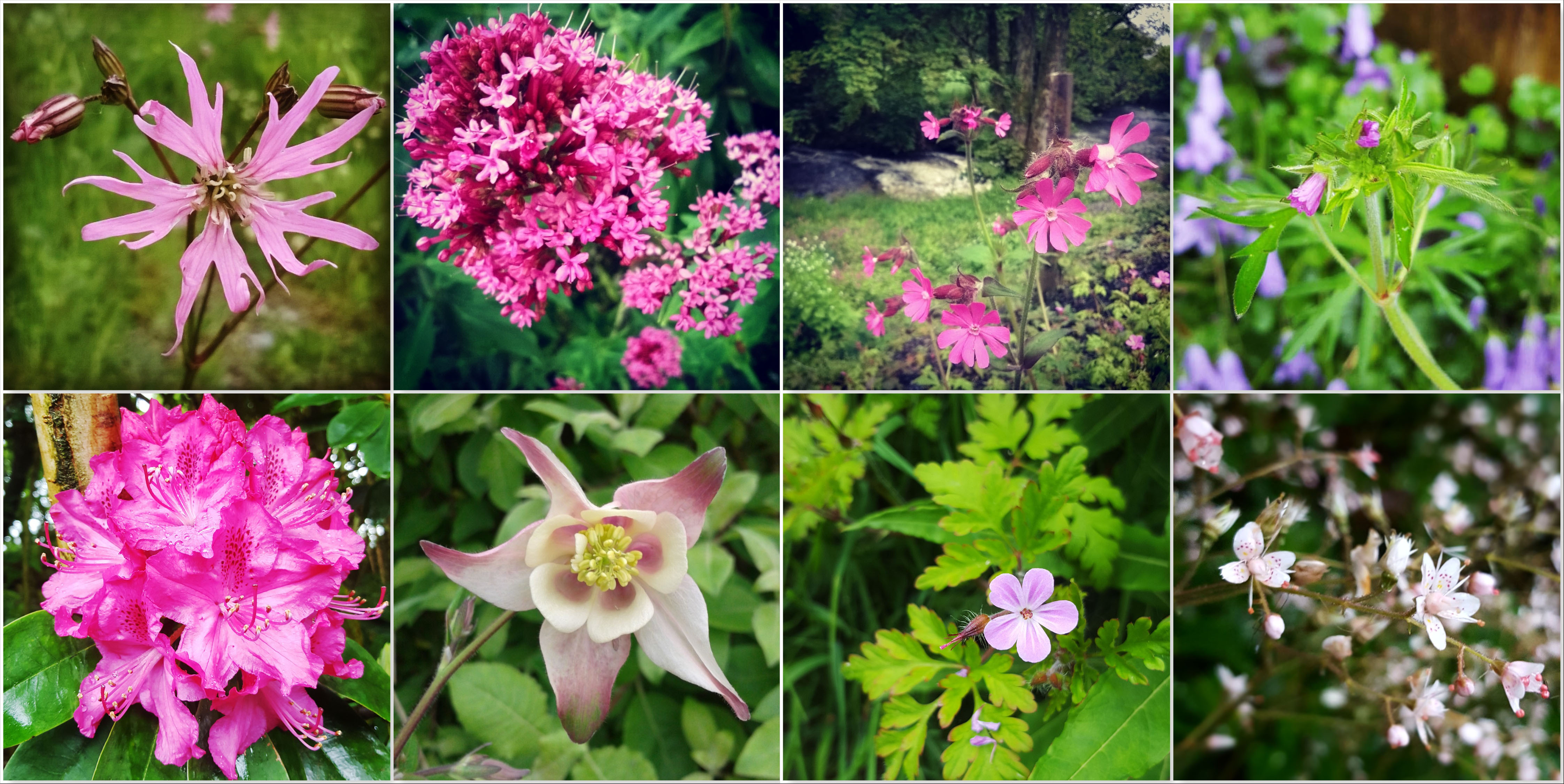 Ragged Robin - Red Valerian - Red Campion - Cranesbill - Rhododendron - Aquilegia - Herb Robert - London's Pride