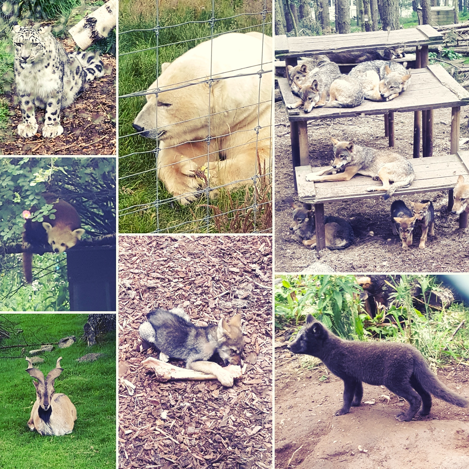 Highlands Wildlife Park - snow leopard, polar bear, red panda, wolves, deer, arctic fox cub - The Last Krystallos