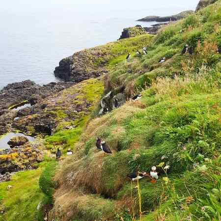 Staffa Puffins - The Last Krystallos