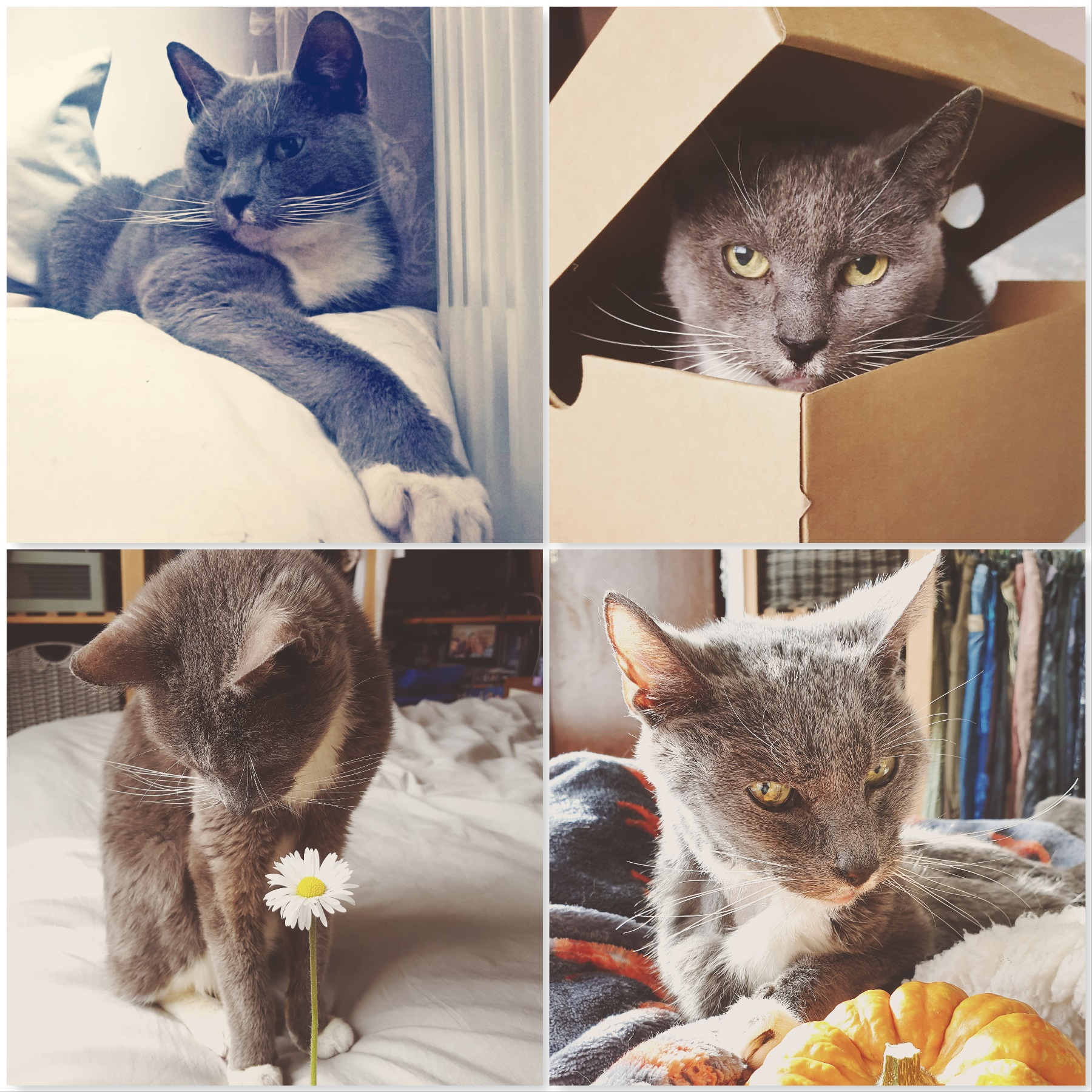 four photos of Misty grey cat - one stretching on bed, one in a box, one with a daisy, one with pumpkin