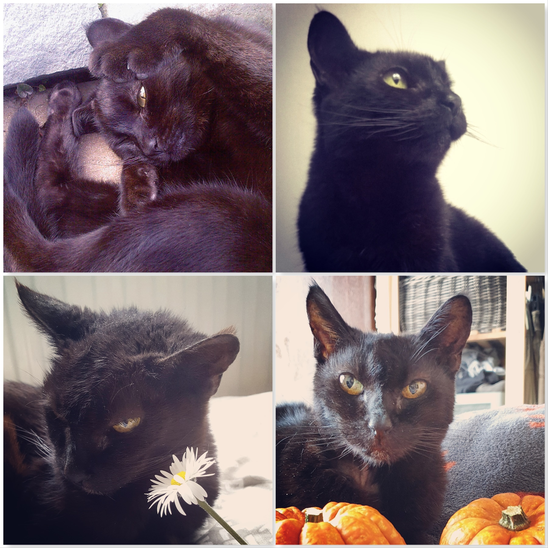 four photos of Raven black cat - one curled up, one looking stately, one with a daisy, one with pumpkins