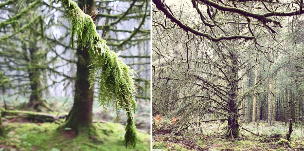 Images of December Brechfa Forest trees