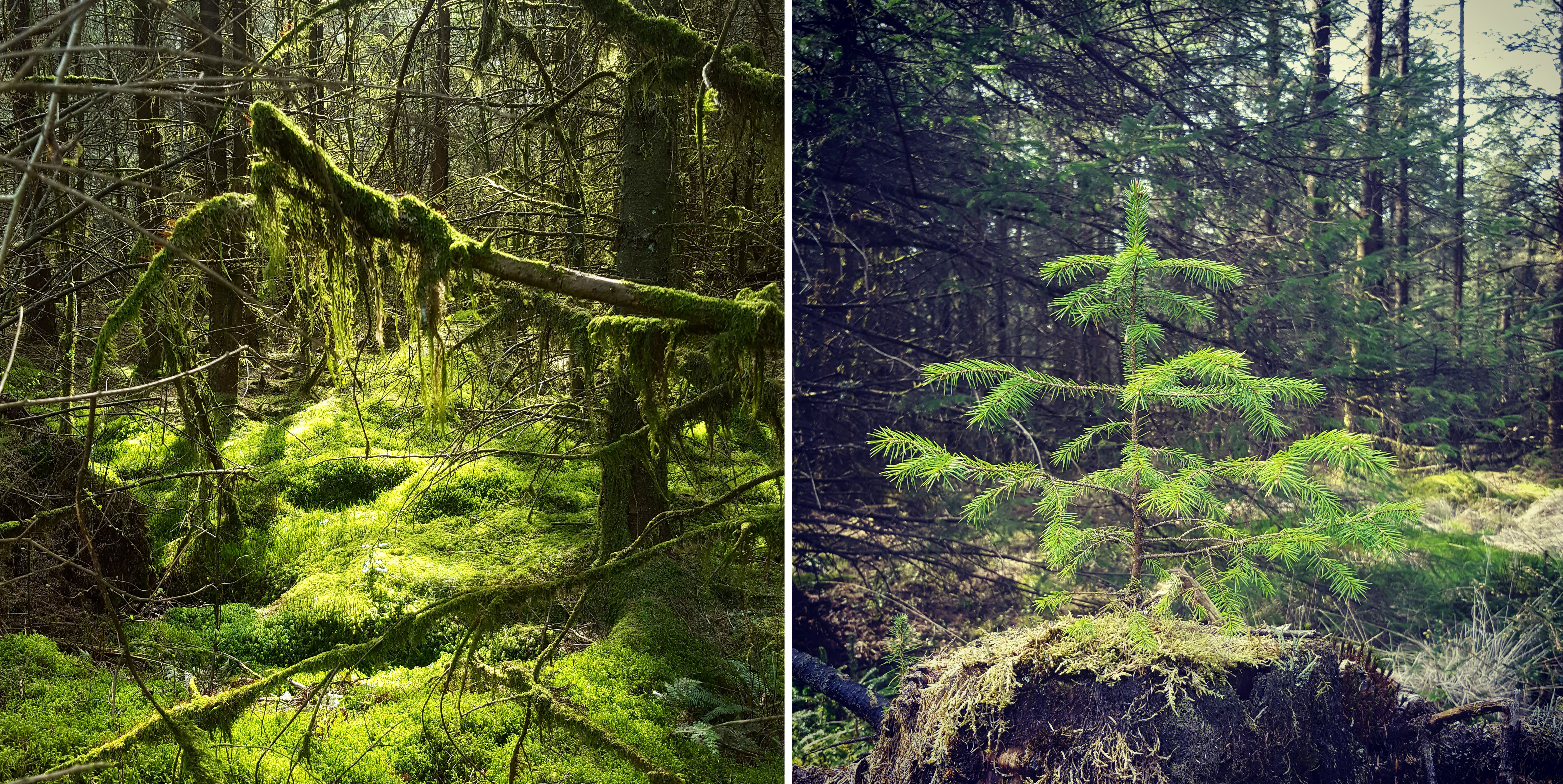 Images of April Brechfa Forest trees