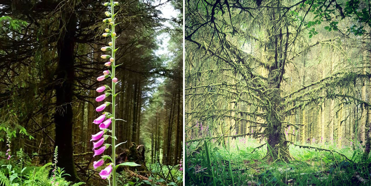 Images of July Brechfa Forest trees and Foxglove