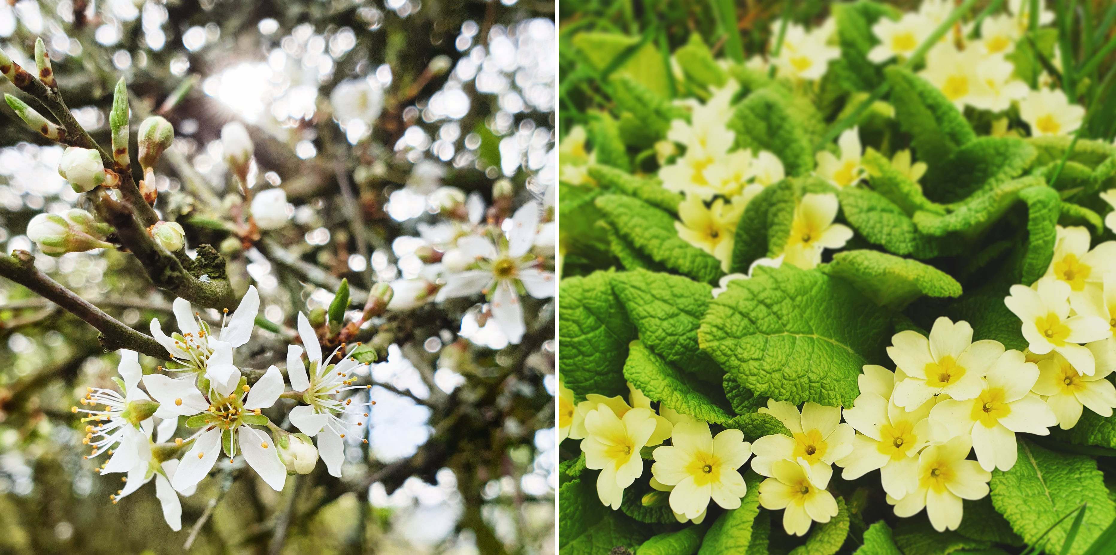 Blackthorn blossom and Primroses - The Last Krystallos